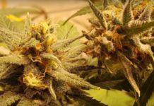 Cultivar Semillas de Marihuana Autoflorecientes