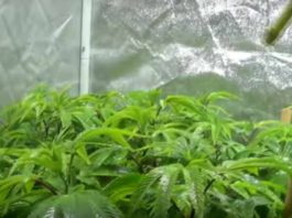Alimentación Foliar a Nuestras Plantas de Marihuana