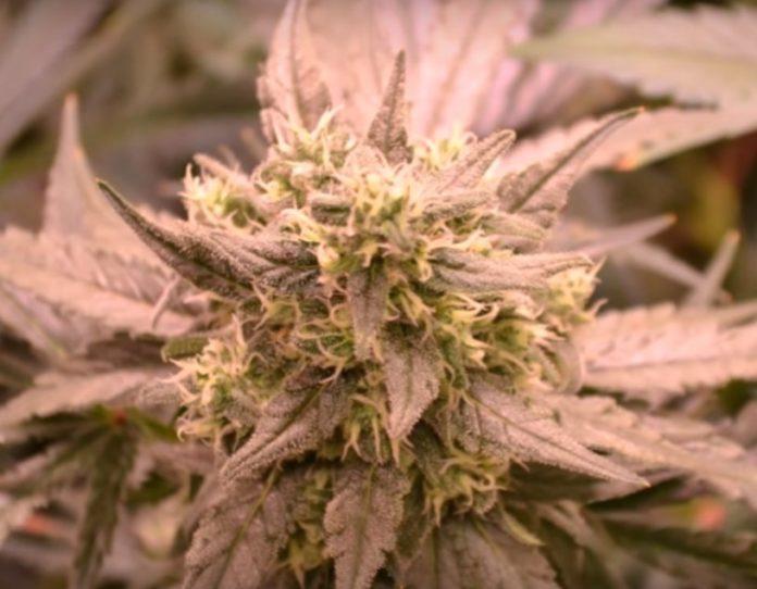 Cultivar Marihuana Hidropónicamente o en el Suelo