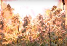 Nitrógeno en Cultivo de Plantas de Marihuana Autoflorecientes