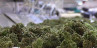 Activar el THC en el Secado de la Marihuana