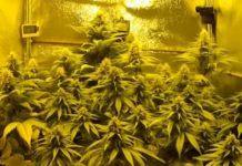 Halogenuros Metálicos para el Cultivo de Marihuana