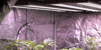 Cultivo de Plantas de Marihuana Autoflorecientes con luces LED