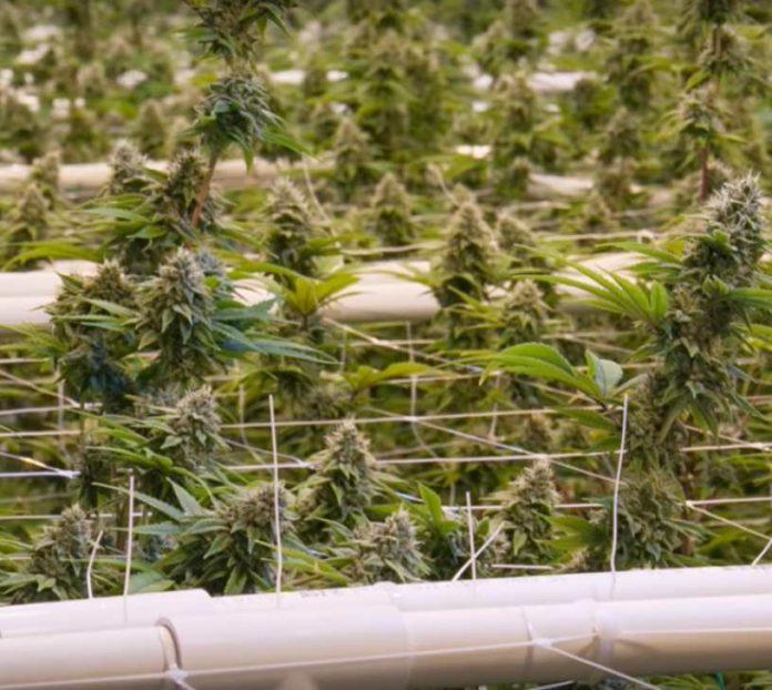 ScrOG en Plantas de Marihuana Autoflorecientes