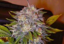 Semilla de Marihuana Caramelo Regular del banco Delicious Seeds