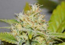 Semilla de Marihuana Delicious Candy del banco Delicious Seeds