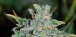 Semilla de Marihuana Northern Light Blue Auto del banco Delicious Seeds