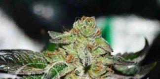 Semilla de Marihuana Original Juan Herer del banco Delicious Seeds