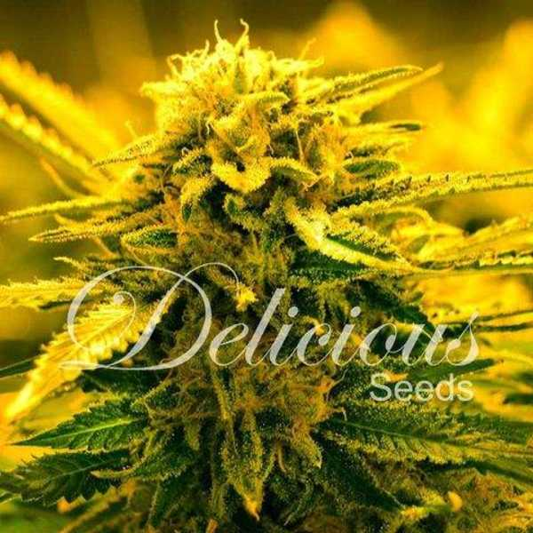 Semilla de Marihuana Sugar Black Rose Auto del banco Delicious Seeds