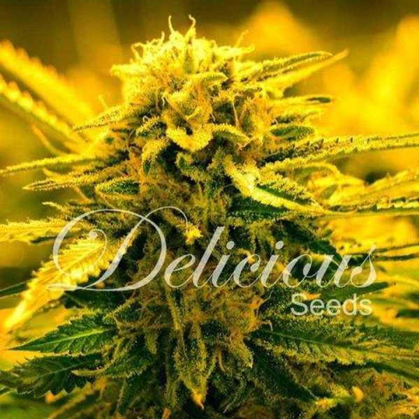 Semilla de Marihuana Sugar Black Rose Auto del banco Delicious Seeds