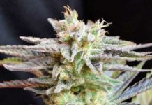Semilla de Marihuana Sugar Black Rose Regular del banco Delicious Seeds