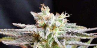 Semilla de Marihuana Sugar Black Rose Regular del banco Delicious Seeds