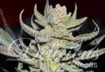 Semilla de Marihuana Unknown Kush Regular del banco Delicious Seeds