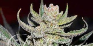 Semilla de Marihuana Unknown Kush Regular del banco Delicious Seeds