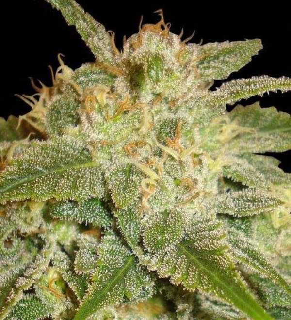 Semilla de Marihuana La Bella Afrodita del banco Delicious Seeds