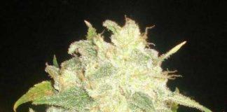 Semilla de Marihuana Il Diavolo del banco Delicious Seeds