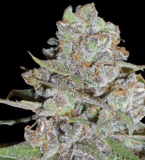 Semilla de Marihuana La Diva del banco Delicious Seeds
