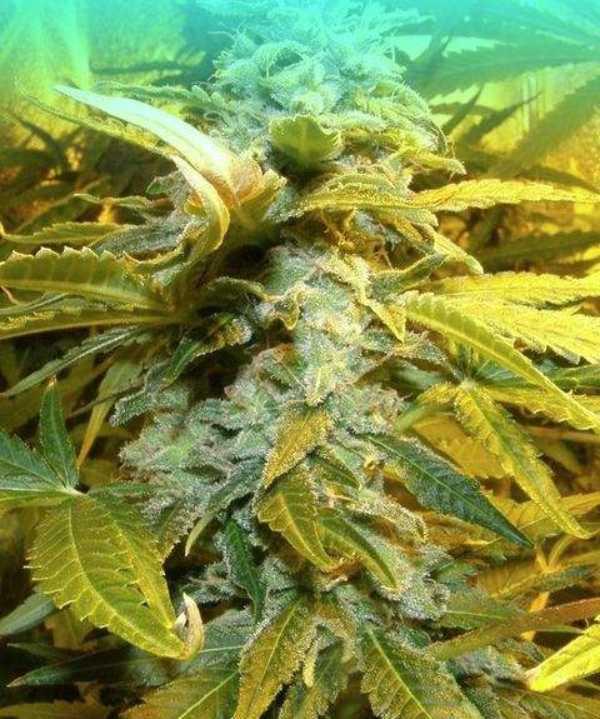 Semilla de Marihuana King Kong del banco Dr. Underground