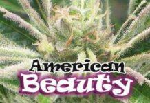 Semilla de Marihuana American Beauty del banco Dr. Underground