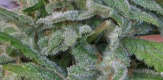 Semilla de Marihuana Brooklyn Mango del banco Dr. Underground