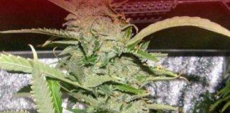 Semilla de Marihuana Crystal METH del banco Dr. Underground