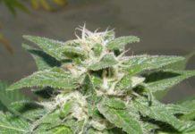 Semilla de Marihuana Kong 47 del banco Dr. Underground