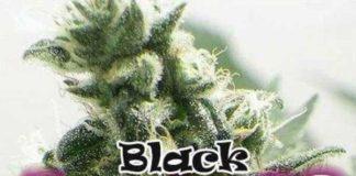Semilla de Marihuana Black Jesus OG del banco Dr. Underground
