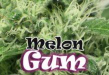 Semilla de Marihuana Melon Gum del banco Dr. Underground