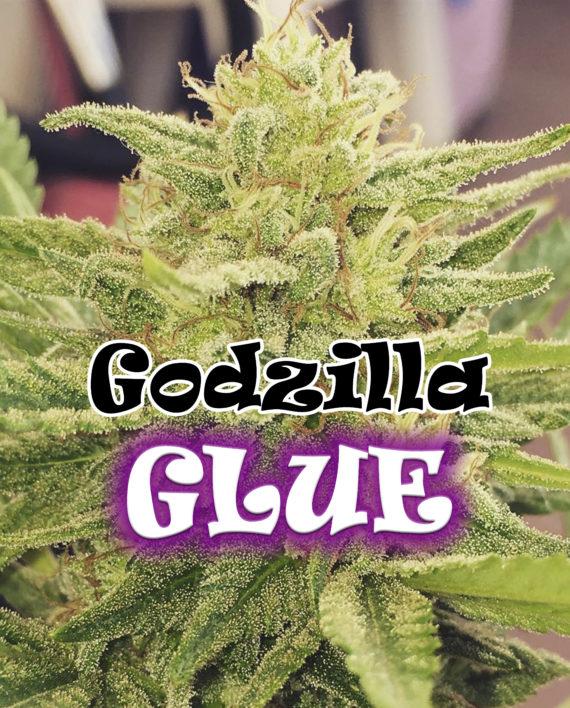 Semilla de Marihuana Godzilla Glue del banco Dr. Underground