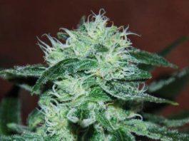 Semilla de Marihuana Marmalate Regular del banco Delicious Seeds
