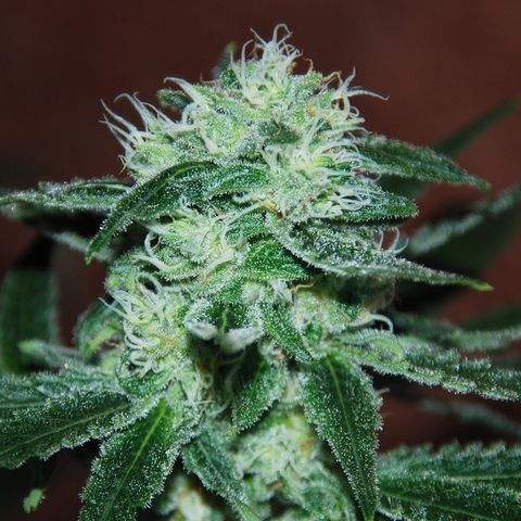 Semilla de Marihuana Marmalate Regular del banco Delicious Seeds
