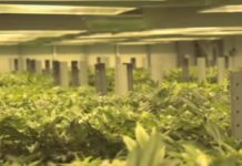 Usos que se le dan a la Marihuana