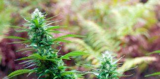 Plantas de Marihuana Autoflorecientes y los Fotoperíodos