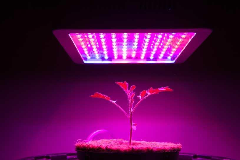 Florecer Plantas de Marihuana con Luces de Cultivo LED