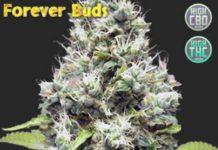 Plantas de Marihuana Perrennes o Multianual - Forever Buds