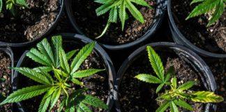 Tamaño de la Maceta para Plantas de Marihuana Autoflorecientes