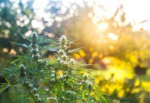 Importancia del Sol en el Cultivo de Marihuana en Exterior