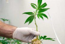 Raíz de Marihuana con Importante Valor Terapéutico