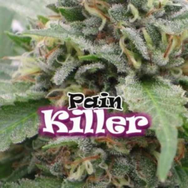 Semilla de Marihuana PainKiller del banco Dr. Underground