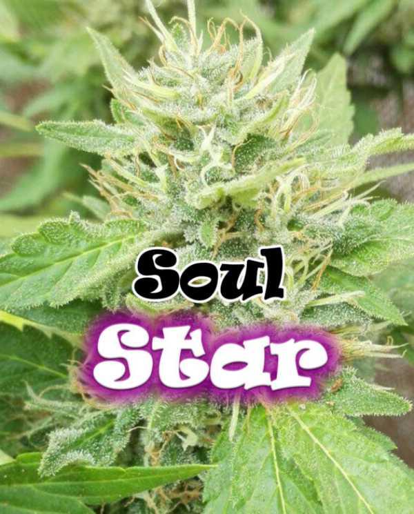 Semilla de Marihuana Soul Star del banco Dr. Underground