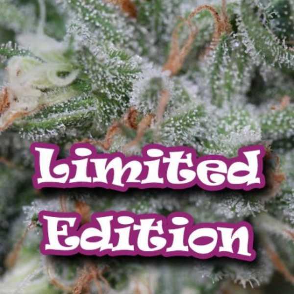 Semilla de Marihuana Sweet Diesel del banco Dr. Underground
