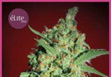 Semilla de Marihuana Banana Joint del banco Elite Seeds