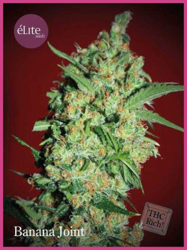 Semilla de Marihuana Banana Joint del banco Elite Seeds