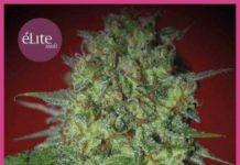 Semilla de Marihuana Bestial Skunk del banco Elite Seeds