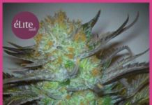 La Semilla de Marihuana Black Hole del banco Elite Seeds