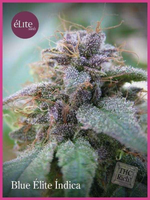 Semilla de Marihuana Blue Elite Indica del banco Elite Seeds