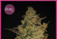 Semilla de Marihuana Caprichosa Thai del banco Elite Seeds