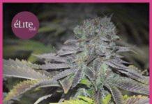 Semilla de Marihuana Early Widow del banco Elite Seeds