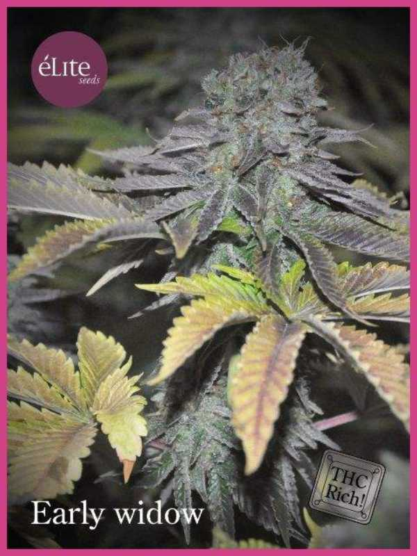 Semilla de Marihuana Early Widow del banco Elite Seeds