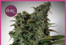 Semilla de Marihuana Elite 47 del banco Elite Seeds